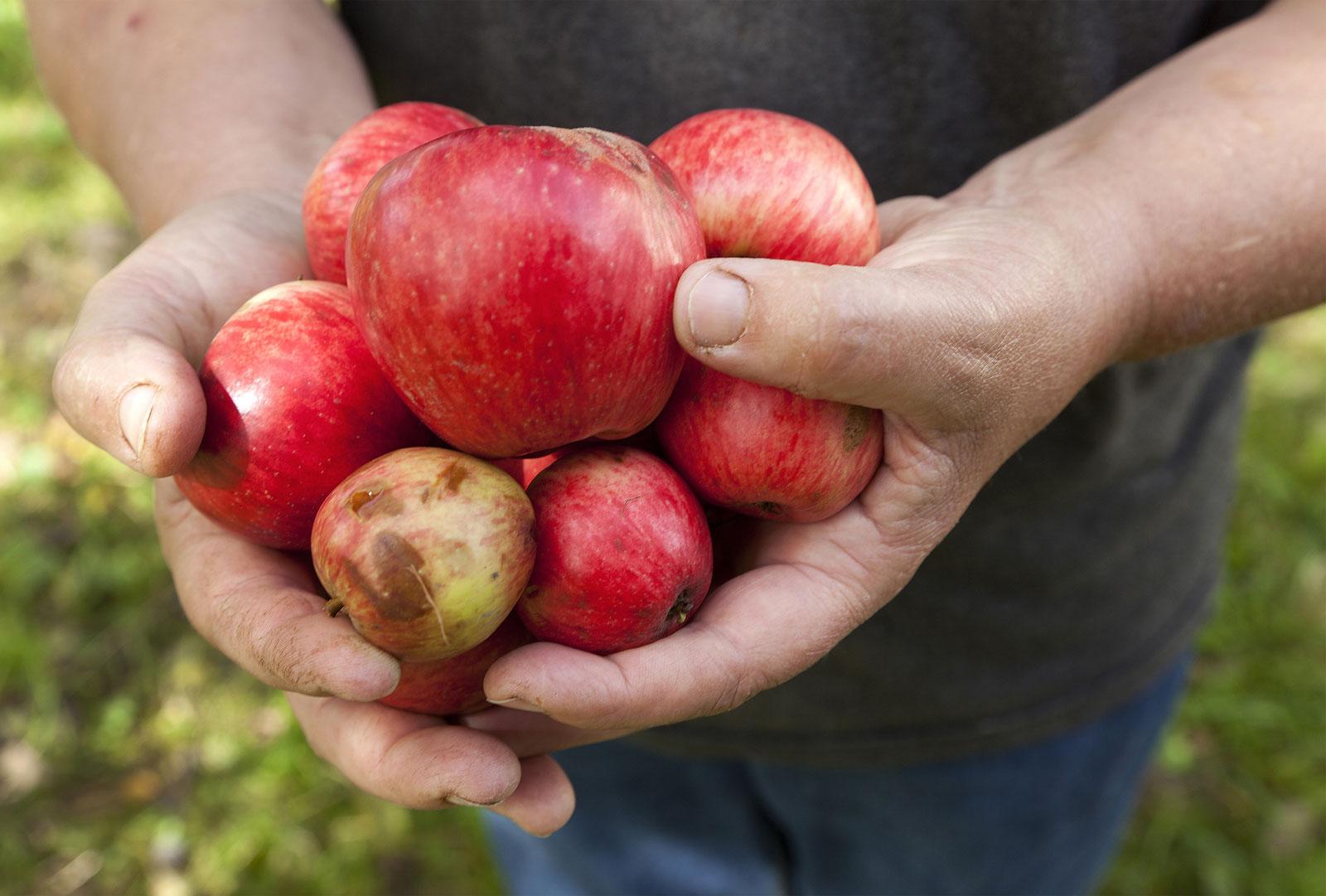Äpfel aus Leutkirch
