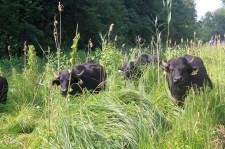 Wasserbüffel wie hier in Sielmanns Biotopverbund Bodensee werden bald auch im Naturschutzgebiet Moosmühle stehen, Foto: Heinz Sielmann Stiftung