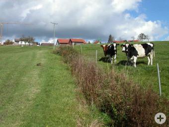 Graben und Kühe unterhalb Willerazhofen