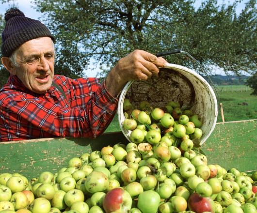 Landwirt bei der Apfelernte